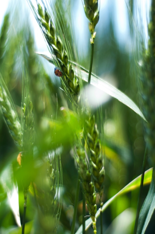 ladybug(786)web