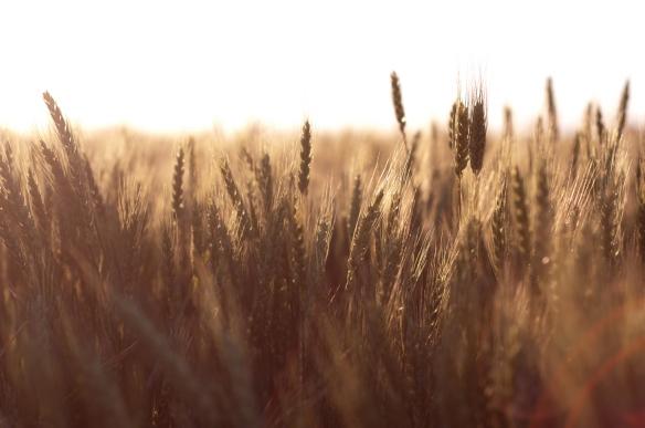 wheat(695)web