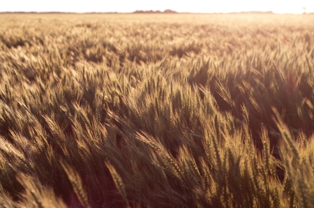 wheat(718)web