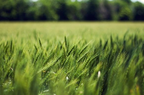 wheat(818)web
